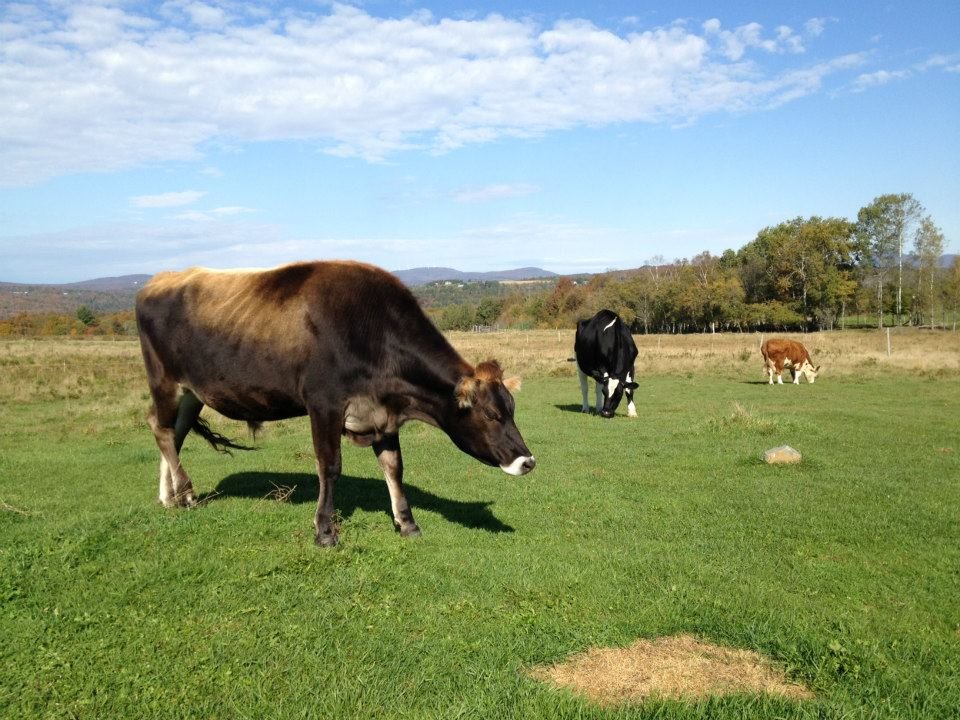 Cows Mountain View Farm Animal Sanctuary