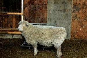 Sponsor a Sheep